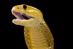 Stickande kobra Fotografering för Bildbyråer