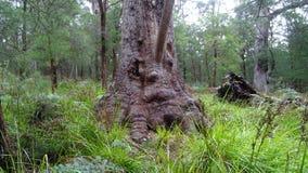 Stickaträdet nära trädet överträffar gångbanan på Walpole västra Australien i höst Arkivfoton
