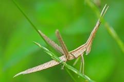 Sticking grasshopper Stock Photos