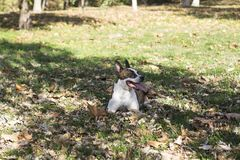 Sticking out tongue dog lying in grass royalty free stock photo