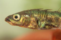 Stickleback. Three-spinned stickleback. Sticklebacks are small predacious fishs and live in ponds, lakes and rivers Stock Image