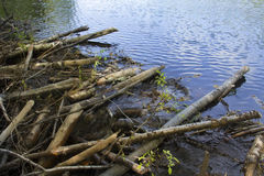Sticks of a beaver dam in Connecticut. Stock Photo