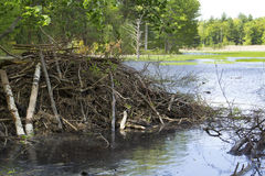 Sticks of a beaver lodge in Hebron, Connecticut. Royalty Free Stock Photo