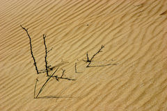 Sticks in the dunes. A few miserable little twigs sticking out of the dune sand Royalty Free Stock Photo