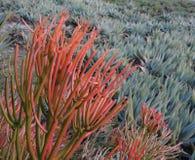 Sticks on Fire - Euphorbia Tirucalli Stock Images