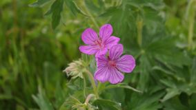 Sticky Geranium,Wildflower royalty free stock images