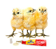 Sticky situation, funny chicks Royalty Free Stock Images