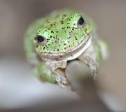 Light Green Tree Frog Smiling at Camera Stock Image