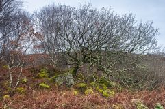 Sticky trees. An image of a wooded bank on the Ardnamurchan peninsula in Lochaber, Scotland. 24 December 2017 Stock Image