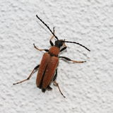 Stictoleptura rubra Royalty Free Stock Photography