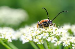 Stictoleptura rubra - the Red-brown Longhorn Beetle stock photo