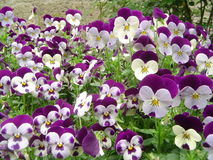 Stiefmütterchen - Pansies Royalty Free Stock Photo