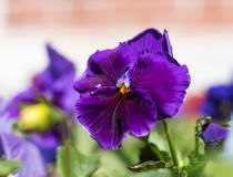 Stiefmütterchenanlage mit blauer Blumennahaufnahme lizenzfreies stockbild