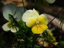 Stiefmütterchenblume-cc$ii Stockfoto