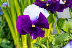 Stiefmütterchenblume im Blumenkasten Stockfotografie