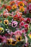 Stiefmütterchenblumenbeet Lizenzfreie Stockfotos