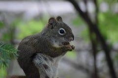 Stiekeme eekhoorn stock foto's
