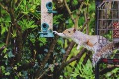 Stiekeme eekhoorn stock fotografie