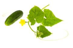 Stiel der Gurke mit Blättern und Blume lizenzfreie stockbilder