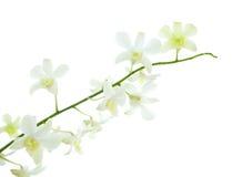 Stiel der weißen Dendrobiumorchidee Stockbild
