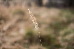 Stiel des trockenen Grases auf einem unscharfen Hintergrund Stockfoto