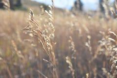 Stiel des Weizengrases stockfotografie