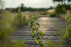 Stiel und Blätter von Nessel Urtica lizenzfreie stockbilder