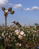 Stiel von Baumwolle auf dem Gebiet stockbild