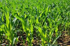 Stiele des grünen Mais in den Reihen Stockbild