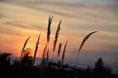 Stiele des Kornes bei Sonnenuntergang Stockfotos