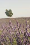 Stiele des Lavendels sind in der Nahaufnahme mit Feld im Hintergrund stockfoto