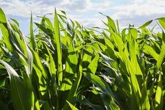 Stiele von Mais Lizenzfreies Stockbild