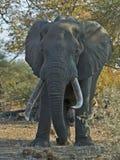 stier 100lb Kruger Royalty-vrije Stock Foto's