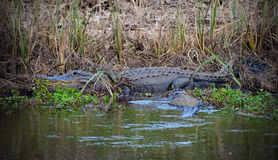 Stier-Alligator in Savannah National Wildlife Refuge lizenzfreie stockfotos