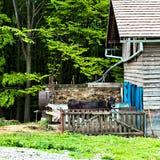Stier auf dem Bauernhof im Stall stockfotografie
