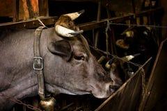 Stier auf dem Bauernhof im Stall lizenzfreie stockbilder