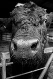 Stier basierte auf einer Molkerei Stockfotografie