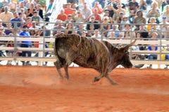 Stier bij de rodeo Royalty-vrije Stock Afbeeldingen