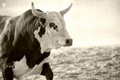 Stier bij rodeo Royalty-vrije Stock Foto's