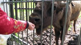 Stier-Bison, der in den Zoo einzieht stock video footage