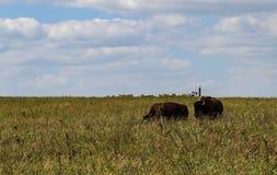 Stier-Bison, der oben auf einer Frau auf dem hohen Gras prarie mit Ölquelle-Pumpensteckfassung auf dem Horizont schleicht Stockfotografie
