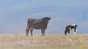 Stier, der auf einem Feld steht stock video