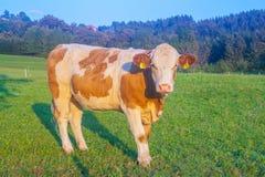 Stier, der die Kamera in den österreichischen Alpen in der goldenen Stunde betrachtet Lizenzfreie Stockfotos
