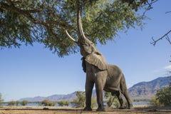 Stier des afrikanischen Elefanten, der auf einen Baum einzieht Lizenzfreie Stockfotografie