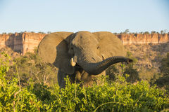 Stier des afrikanischen Elefanten durch Chilojo-Klippen Lizenzfreies Stockbild