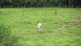 Stier die bij het gebied lopen stock videobeelden
