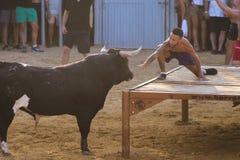 Stier die door moedige jonge mensen in arena na de in werking stellen-met-de-stieren in de straten van Denia, Spanje worden gepla Stock Afbeeldingen