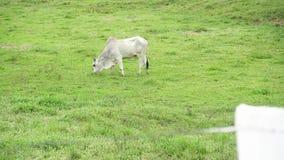 Stier die gras eten bij het weiland stock footage