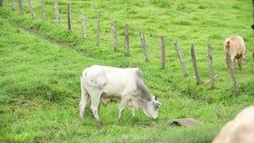 Stier die gras eten bij het weiland stock video