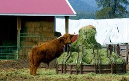 Stier die in het Hooi krijgt Royalty-vrije Stock Afbeelding